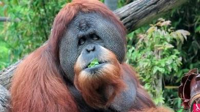 Photo of أندونيسيا تحقق في قتل أحد حيوانات إنسان الغاب المهدد بالانقراض