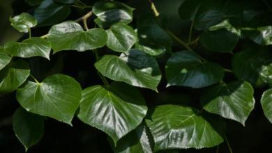 Photo of 10 فوائد مذهلة لعشبة الزيزفون