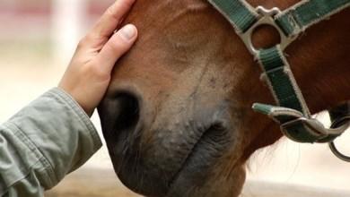 Photo of دراسة تكشف طريقة تفاعل الحصان مع الإنسان