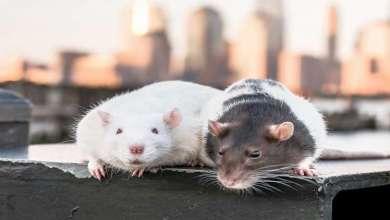 Photo of انتشار واسع لعدوى قاتلة تنقلها الفئران!