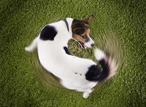 Photo of لماذا تطارد الكلاب ذيولها ؟