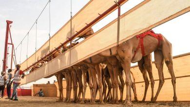 Photo of بالصور: تقنية مشابهة للـ VAR تحسم نتيجة سباق الإبل في السعودية