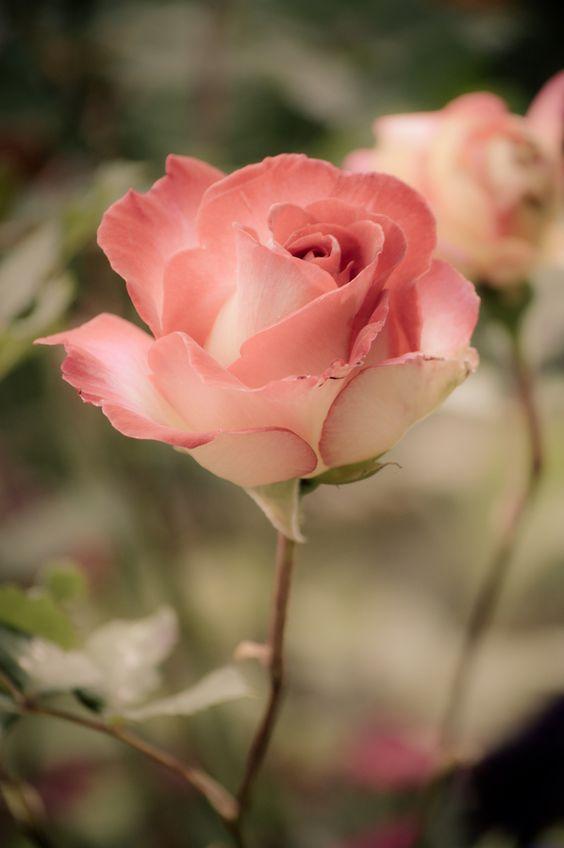 صور عن الورد رائعة