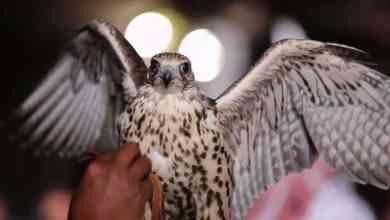 Photo of بالصور: معرض الصقور والصيد السعودي يجذب 170 ألف زائر في نسخته الأولى