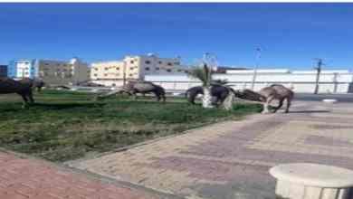 """Photo of """"إبل سائبة"""" ترعى في ممشى حديقة.. وبلدية خميس مشيط تعلق"""