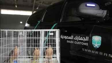 Photo of بالصور: جمرك الوديعة ينقذ 3 صقور من الموت خنقاً خبّأها راكب داخل جوارب بمركبته