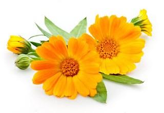 Photo of فوائد نبات الآذريون Calendula و طريقة زراعتها