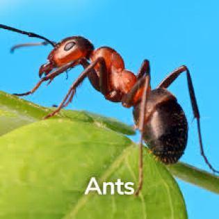 النملة