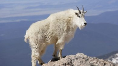 Photo of معلومات عن حيوانات الجبال