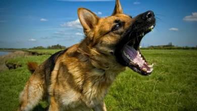 Photo of كلاب شرسة يمكن أن تتحول الى أداة قتل للبشر