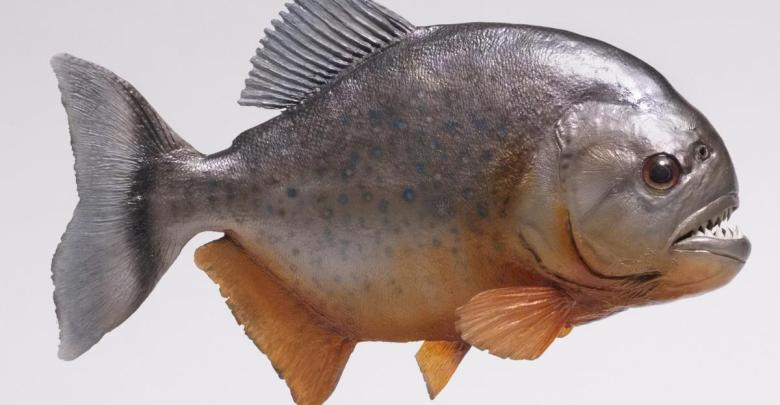 Photo of سمكة البيرانا المتوحشة