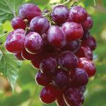 فوائد العنب التجميلية ووصفاته للبشرة