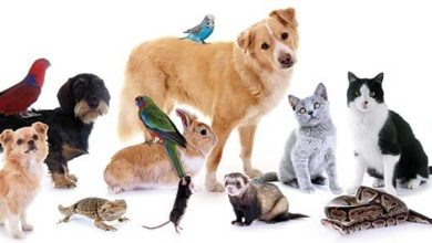 Photo of أجمل 10 حيوانات أليفة في العالم ينصح بتربيتها بالصور