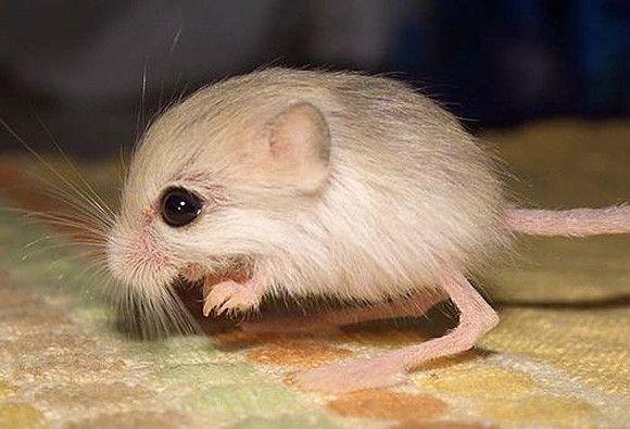 الفأر الكنغري