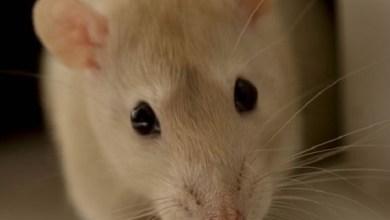 Photo of طرق مجربة للتخلص من الفئران