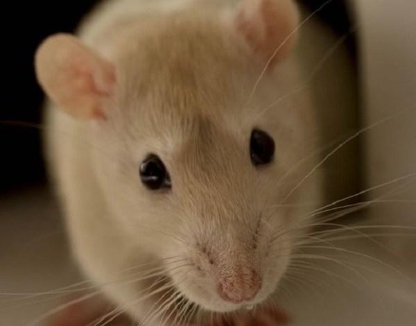خطورة الفئران