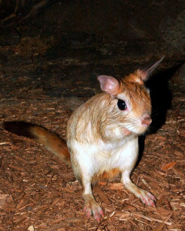 الفأر الكنغري هل يموت لو شرب الماء ؟
