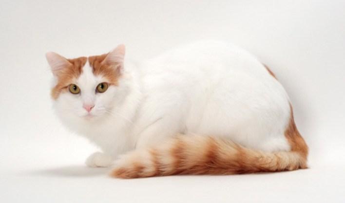 صورة قط الفان التركية