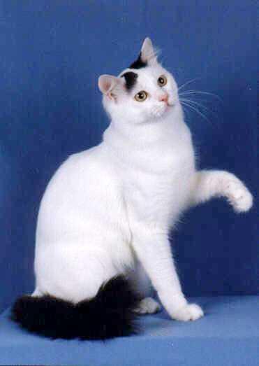صورة قط الفان التركي