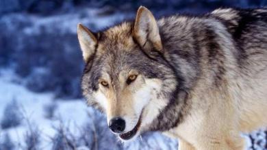 Photo of تفسير حلم الذئب