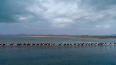 Photo of تعرّف على تفاصيل لقطة الإبل الساحلية داخل شاطئ البحر في عسير
