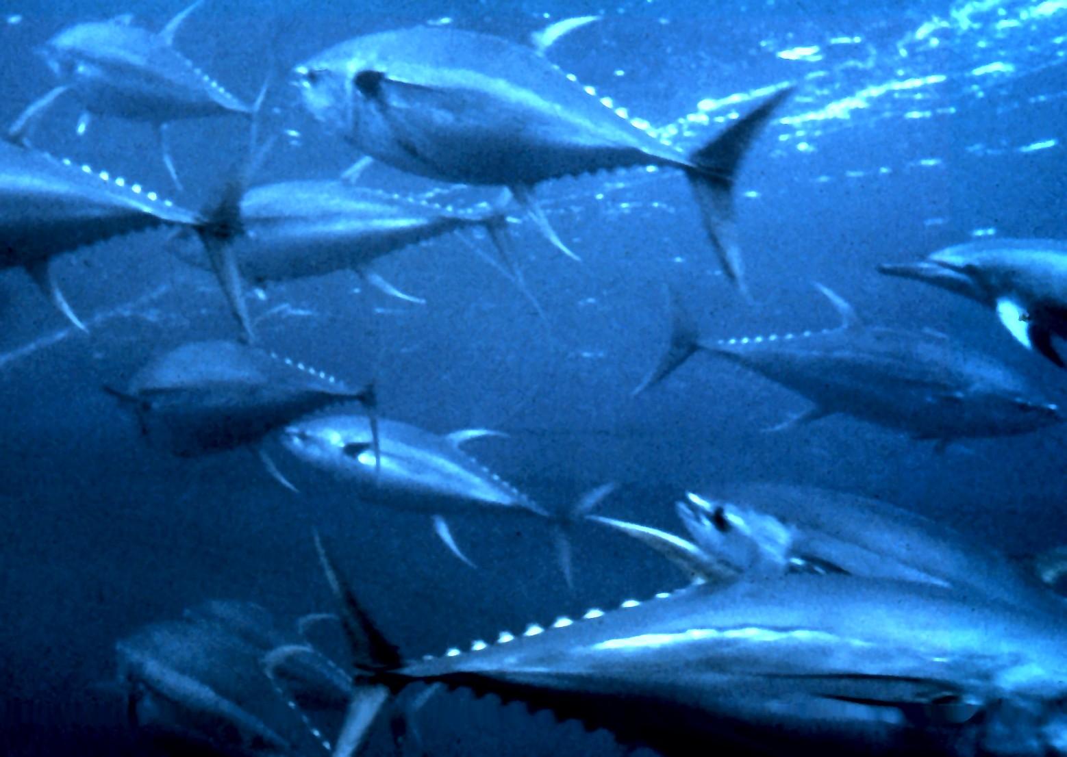 فوائد التونة .
