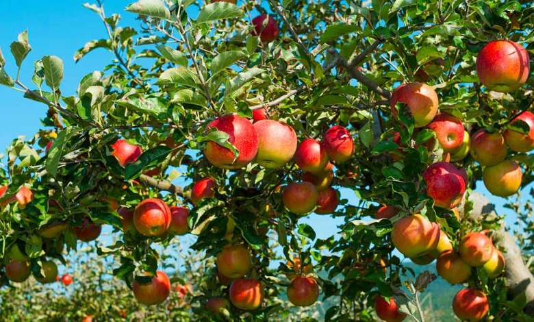 Photo of رجيم التفاح