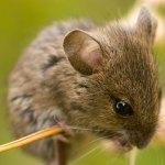 تفسير حلم الفأر
