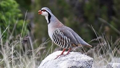 Photo of معلومات عن طيور الحجل البري مع الصور