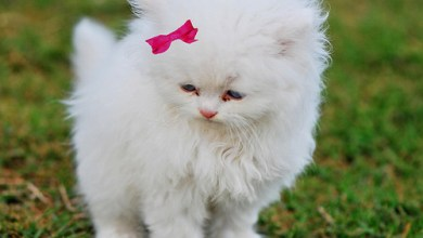 Photo of اجمل 19 صور للقطط منزلية اليفة