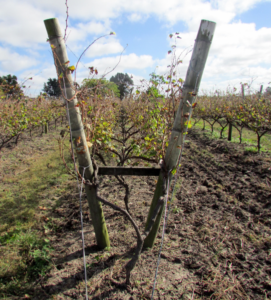 Lyra trained vines at Narbona