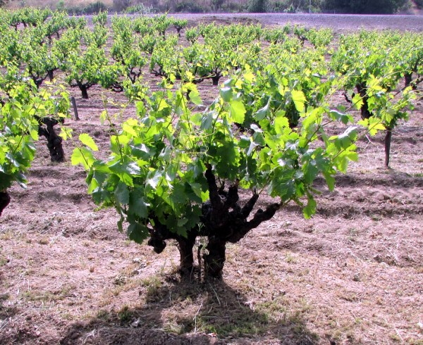 hollow old vine at 101 Vineyard