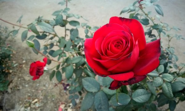 Hd Red Roses pic, Roses Images