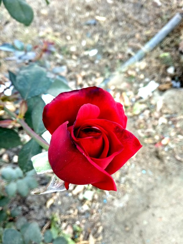 new Real Hd Red Roses Image