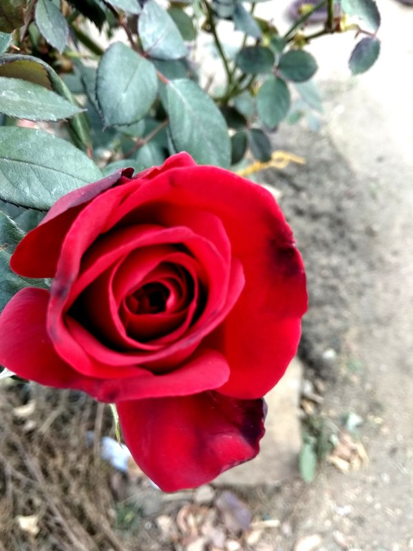 Hd Red Roses pic