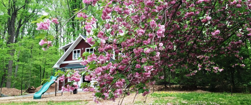 Back yard with cherry blossoms and barn cropped
