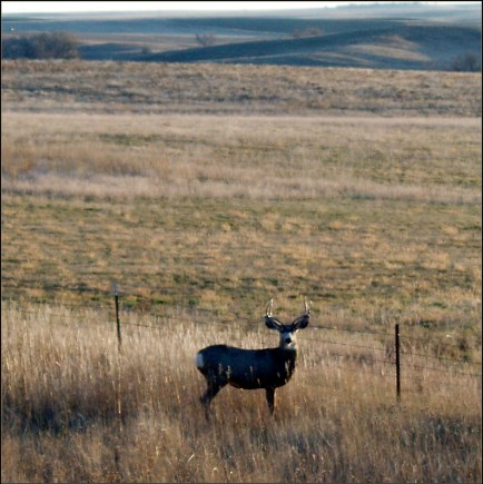 Mule Deer in Western Nebraska