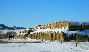 Winter hay baled into rolls and all covered in snow