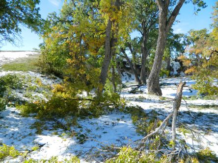 Heavy snow and high winds cause widespread damage to the cottonwoods and ash trees.