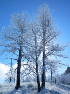 ponderosa pine frosted in ice and snow