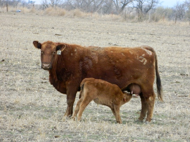 Spring Red Angus cow calf pair