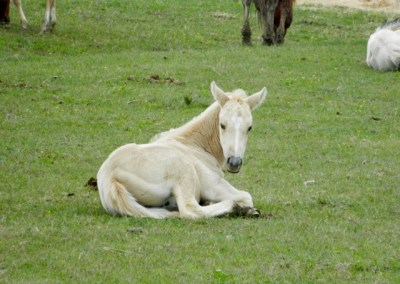 Newly born foal laying down