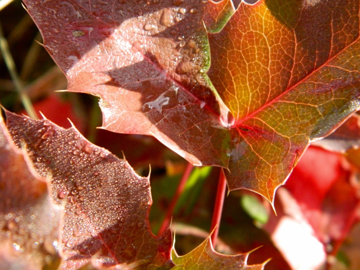 Oregon grape leaves in autumn