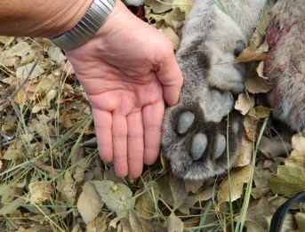 Female mountain lion paw against my hand (paw is at least 6 inches)