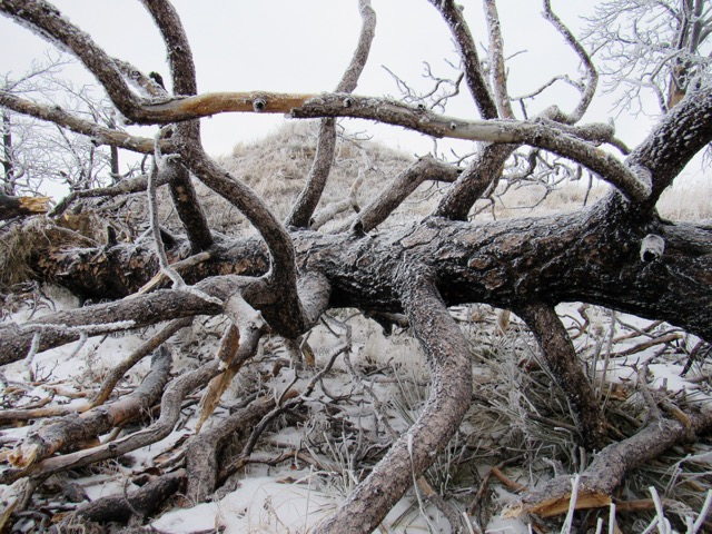 Ponderosa tree lay frozen on the ground.