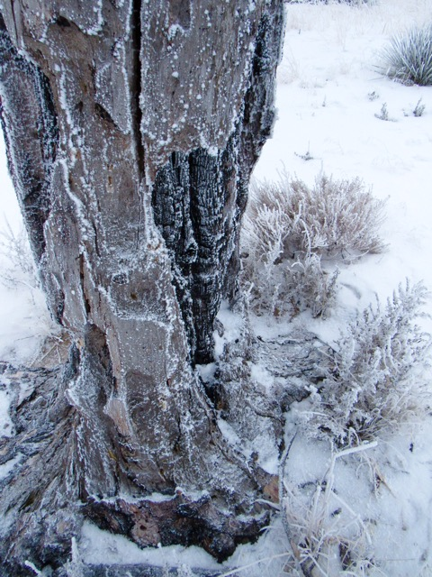 One Ponderosa frozen in time, and still standing.
