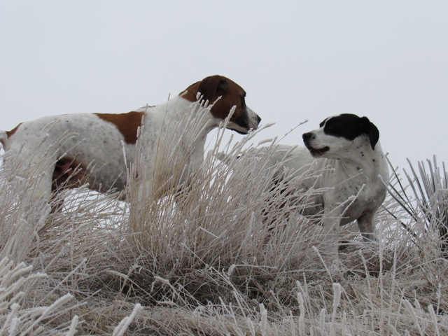 My dogs: Brown & white Roscoe & Bandit enjoying the time outdoors