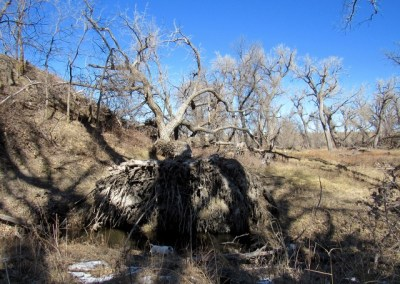 Uprooted cottonwood lay across the ground.