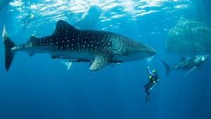 whaleshark_with_diver