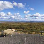 Schafe auf Abwegen